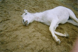 Veri, a retired brood mare from Varian Arabian Farms in San Luis Obispo, lies dead after feeling the needle.