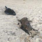 Dead pit bull