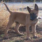 A Belgian Malinois puppy